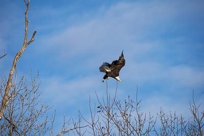Shady Oak Eagle #13