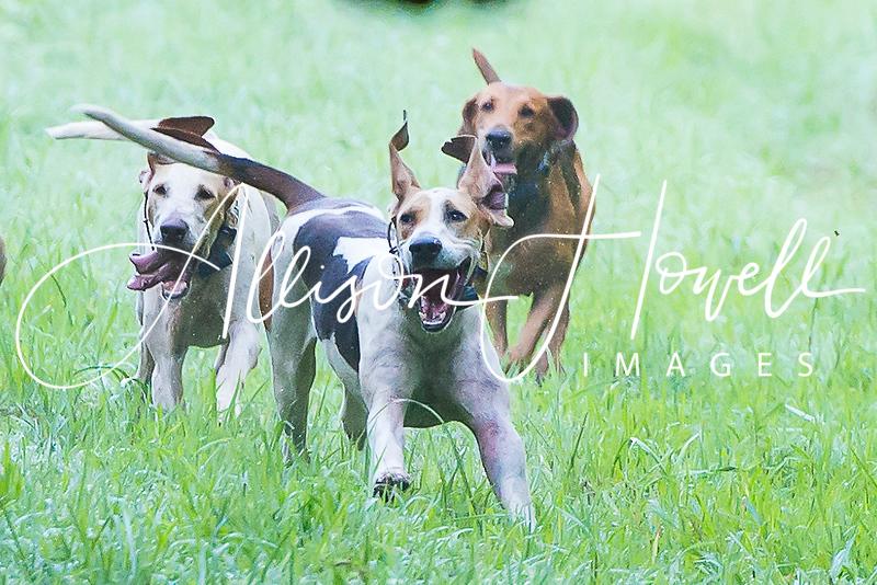 Three hounds on a run2018