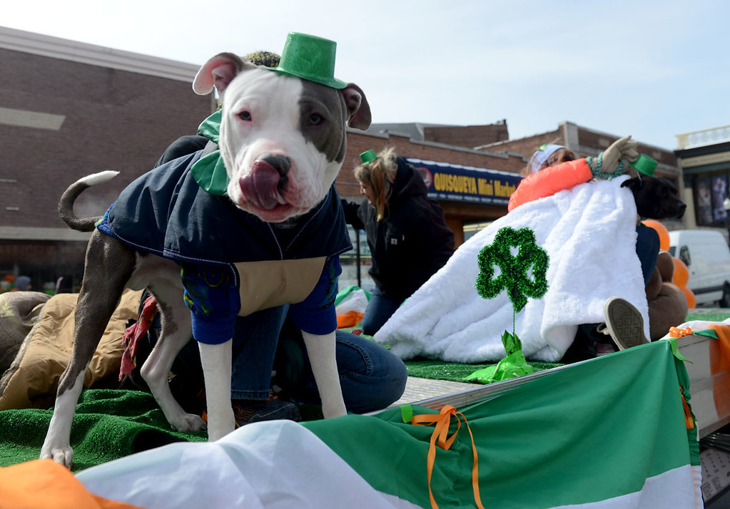 . Tania Barricklo-Daily Freeman                      Elmer, left, and Roo were two of several friendly canine to participate in Sunday\'s St. Patrick\'s Day parade n Kingston, N.Y. The two were on the the Ulster County SPCA float and are also up for adoption.