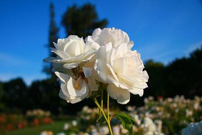 San Jose Municipal Rose Garden (20111003)