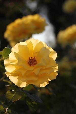 San Jose Municipal Rose Garden (20121028)