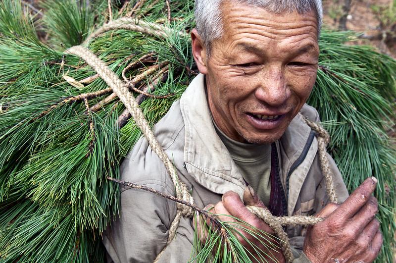 """Paysan tibétain transportant des branches de pins dans une forêt des environs de Zhongdian (renommée """"Shangri-La""""). Province du Yunnan/Chine"""