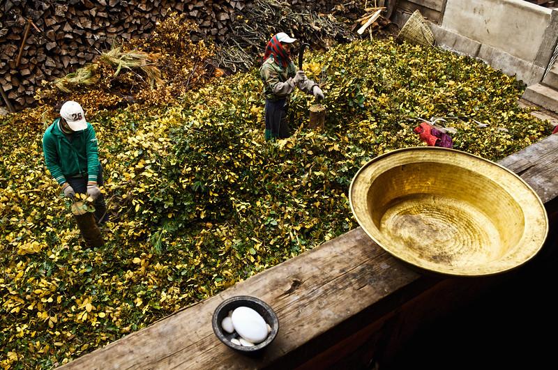 """Découpage de branchages dans une ferme tibétaine des environs de Zhongdian (renommée """"Shangri-La""""). Province du Yunnan/Chine"""