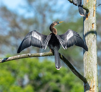 Anhinga - the word anhinga comes from the Brazilian Tupi language which means Devil Bird or Snake Bird.