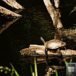 Itasca Turtle
