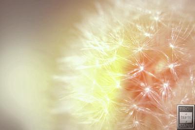 dandelion surge