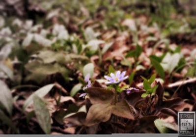 Sharp-Lobed Hepatica of the Big Woods