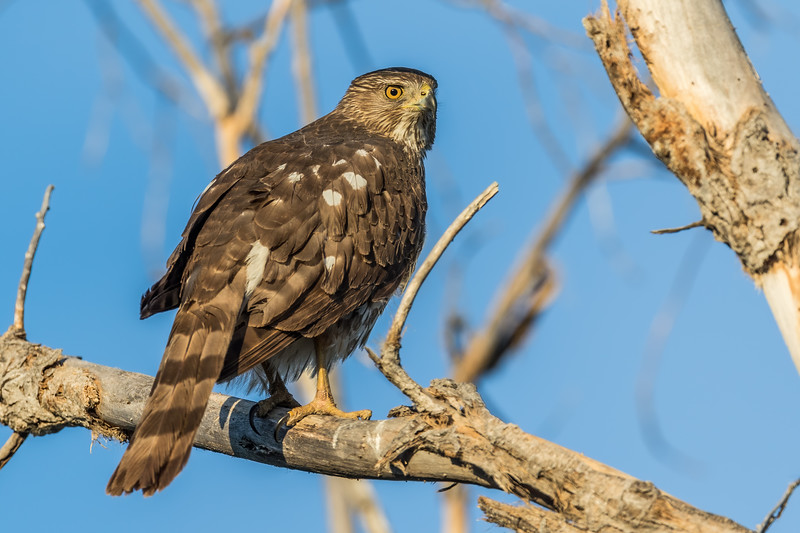 female Cooper's hawk, Accipiter cooperii (Accipitriformes, Accipitridae). Sweetwater Wetlands, Tucson, Arizona USA