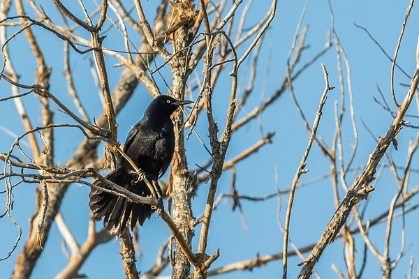 male great-tailed grackle, Quiscalus mexicanus (Passeriformes, Icteridae). Sweetwater Wetlands, Tucson, Arizona USA