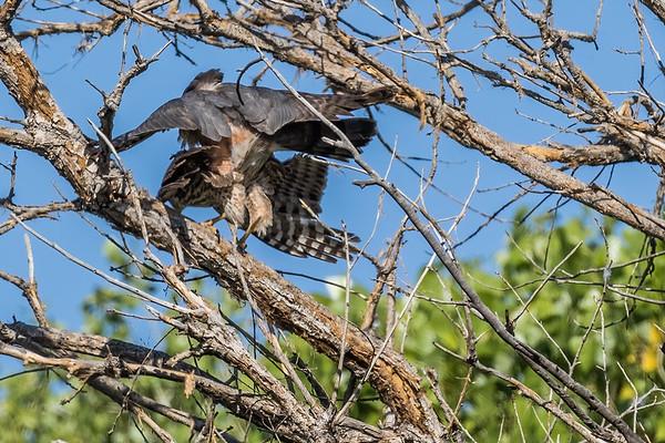 male & female Cooper's hawk, Accipiter cooperii (Accipitriformes, Accipitridae). Sweetwater Wetlands, Tucson, Arizona USA