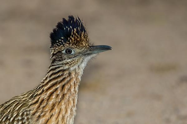 greater roadrunner, Geococcyx callifornianus (Cucliformes cuculidae). Sweetwater Wetlands, Tucson, Pima Co. Arizona USA