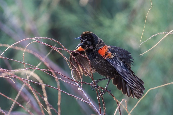 red-winged blackbird, Agelaius phoeniceus (Passeriformes, Icteridae). Sweetwater Wetlands, Tucson, Arizona USA
