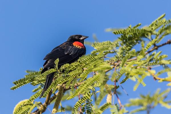 red-winged blackbird, Agelaius phoeniceus (Passeriformes, Icteridae). Sweetwater Wetlands, Tucson, Arizona USA