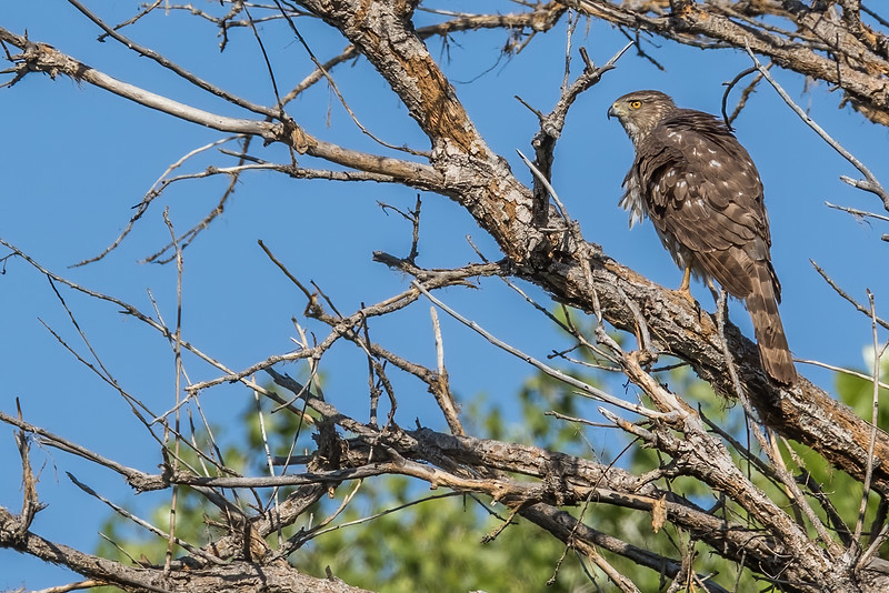 female Cooper's hawk, Accipiter cooperii (Accipitriformes, Accipitridae). Sweetwater Wetlands, Tucson, Arizona USA