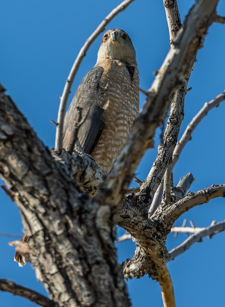 male Cooper's hawk, Accipiter cooperii (Accipitriformes, Accipitridae). Sweetwater Wetlands, Tucson, Arizona USA