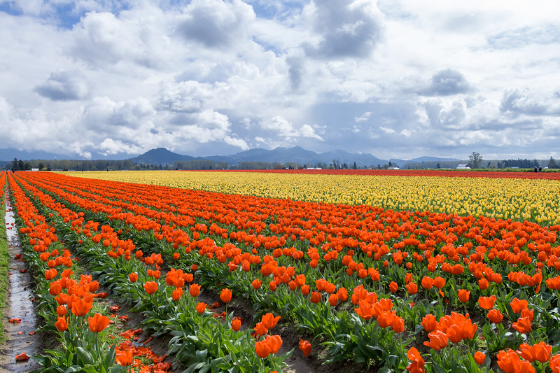 A field of blooming tulips