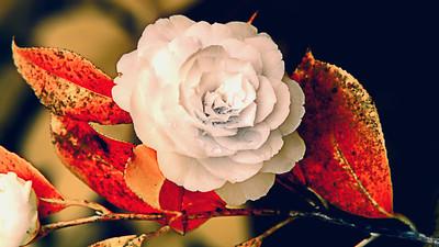 Camellia - Infrared