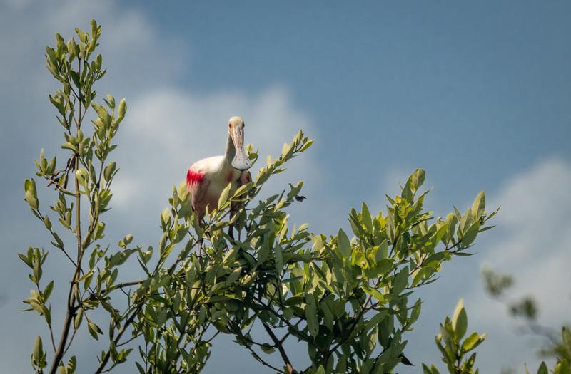 Adult Roseate Spoonbill on Top of Mangrove Tree
