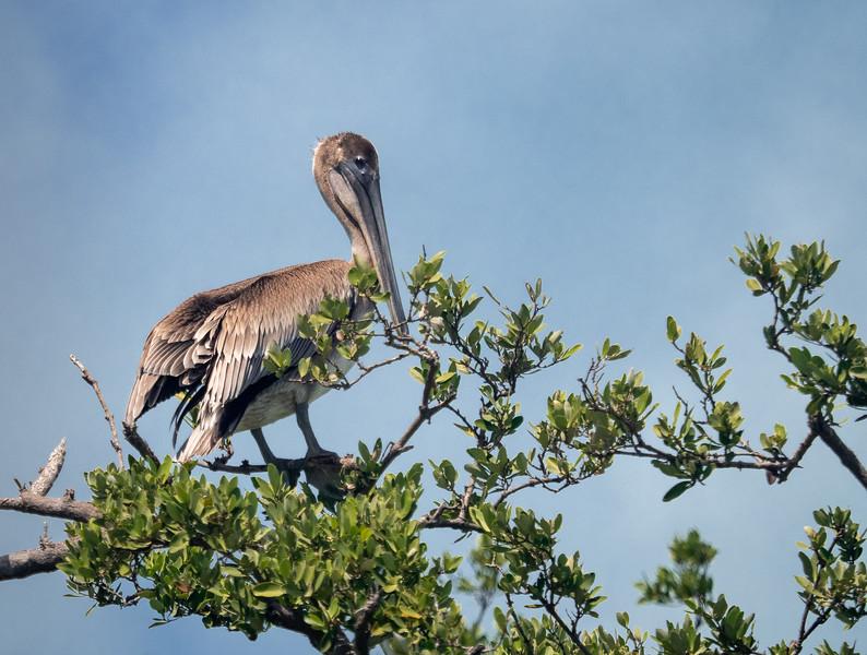 Pelican on Mangrove Tree