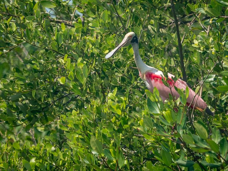 Adult Roseate Spoonbill in Mangrove Trees
