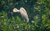 Red Heron Preening Itself