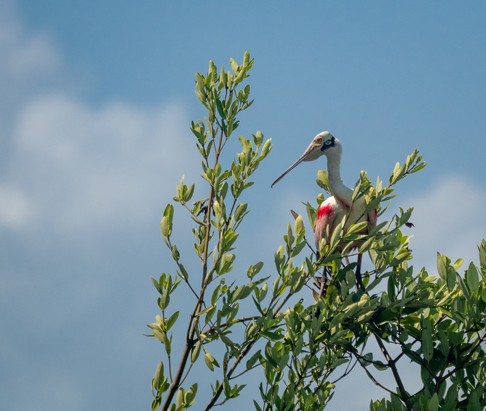 Adult Roseate Spoonbill on top of Mangrove Tree