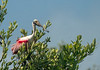 Adult Roseate Spoonbill Perched on  Mangrove Tree