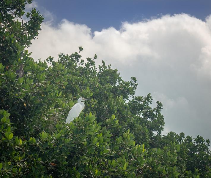 Egret in Mangrove Trees