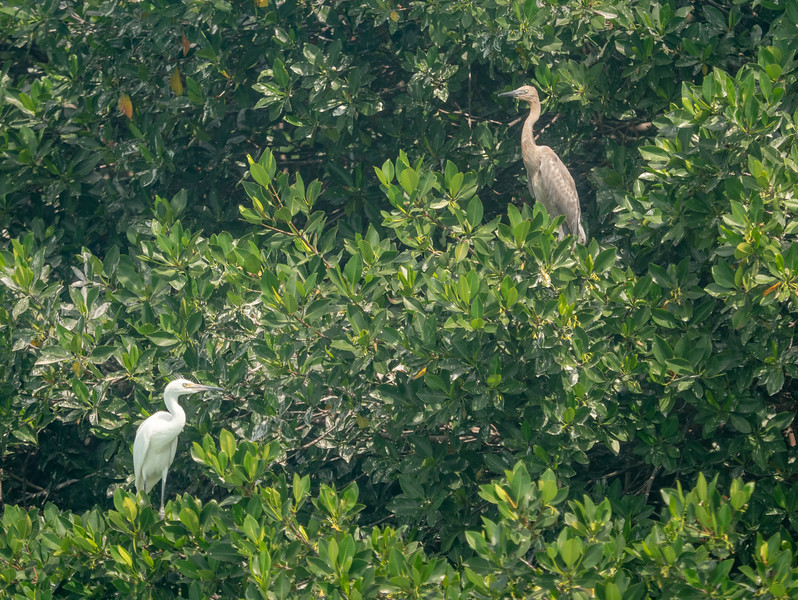 Egret and Red Heron in Mangrove Trees