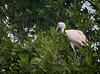Baby Roseate Spoonbill