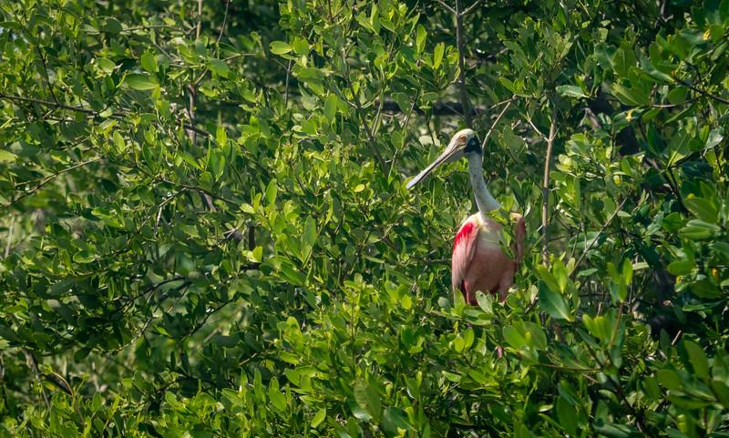 Adult Roseate Spoonbill in Mangrove Trees, Near Nursery