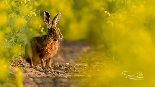 Hare in the channels