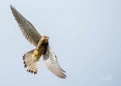 Agility! A Kestrel on the wing