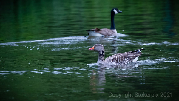 Greylag and Canada Goose