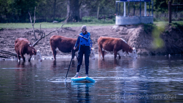 Paddle Boards & Cows - Waited all my life to say that !?