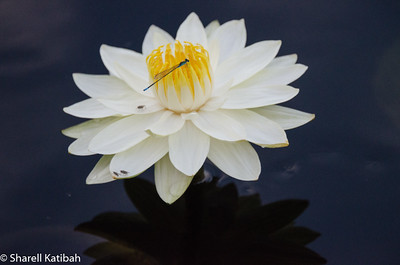 Water Lily and Damselfly