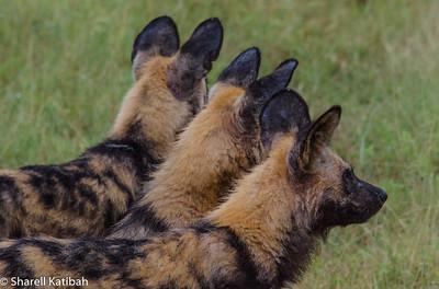 Wild Dog Ears