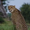 Cheetah Looking for His Brother
