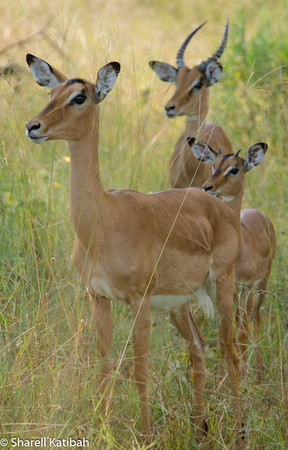 Impala in the Brush