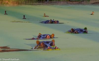 Hippos in a Murky Pond