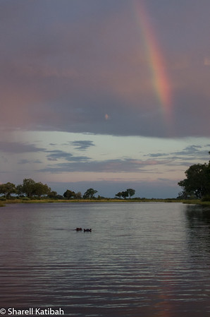 Hippos in the River with Rainbow