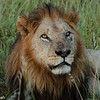 First Lion in Africa
