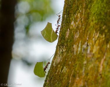 Leaf Cutter Ants at Work