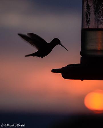 Hummingbird at Sunset, Lookout Inn
