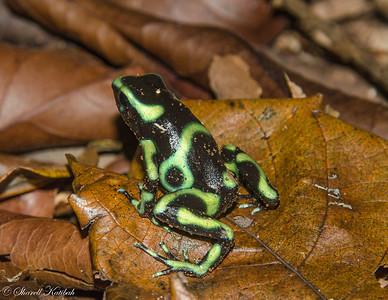 Green Poison Dart Frog #2