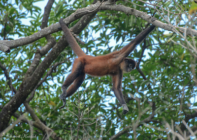 Spider Monkey on the Move