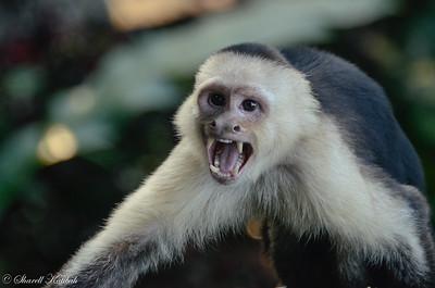 Noisy Capuchin