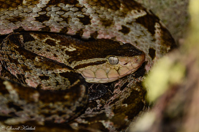 Fer-de-lance, Up Close