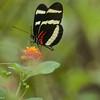 Butterly on Verbena