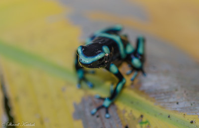 Green Poison Dart Frog #1